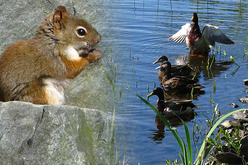 Portland Lakes Trail - Squirrel and Ducks