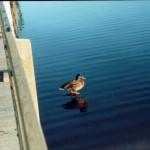 Duck standing on rock in the water