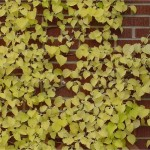 leaves climbing a chimney