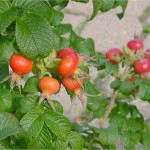 Plump rosehips