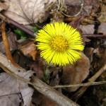Coltsfoot flower