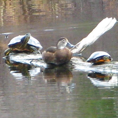 1st sighting of turtles in 2013