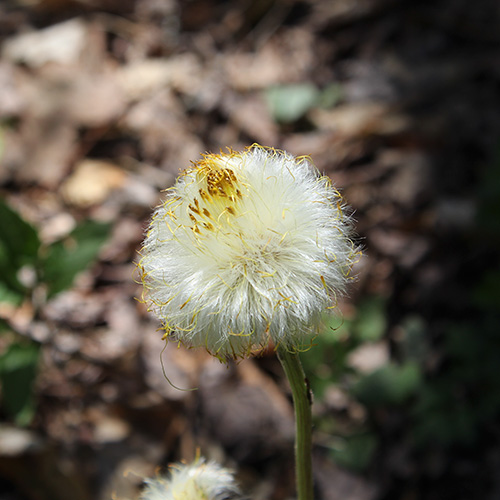 coltsfoot flower gone to seed