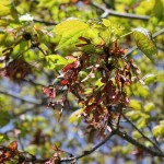 maple tree seeds