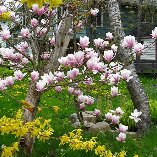 magnolias and forsythias