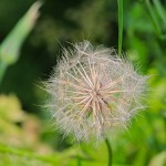 dandelion gone to seed