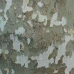 Plantane Tree