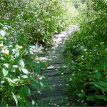 Old boardwalk that is just about overgrown with vegetation