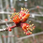 maple buds opening to flower