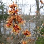 maple buds in full flower