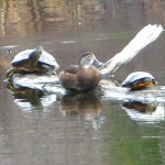 1st sighting of turtles in 2013