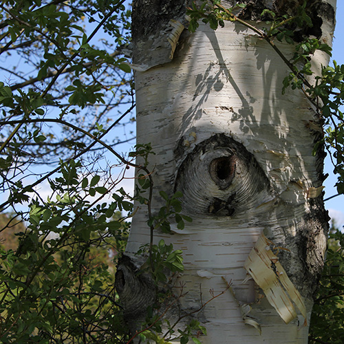 eye in a birch tree
